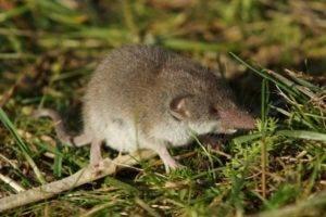 Мышь землеройка или бурозубка
