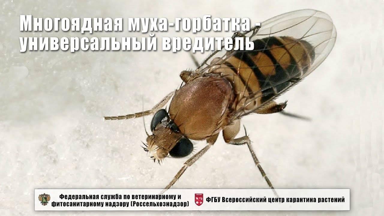 Муха-боец – самая большая муха в мире
