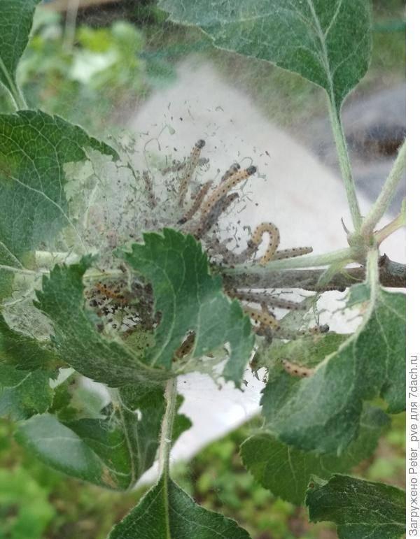 Что делать если появилась паутина на яблонях?
