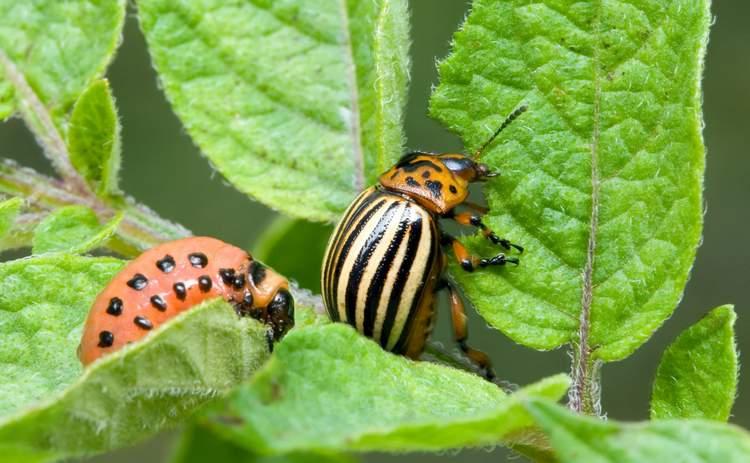 Горчица и уксус в борьбе с колорадским жуком на картофеле: как применять