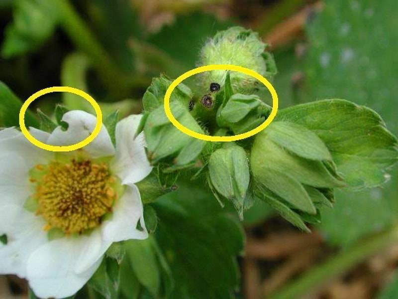 Долгоносик на клубнике – как бороться во время цветения и плодоношения