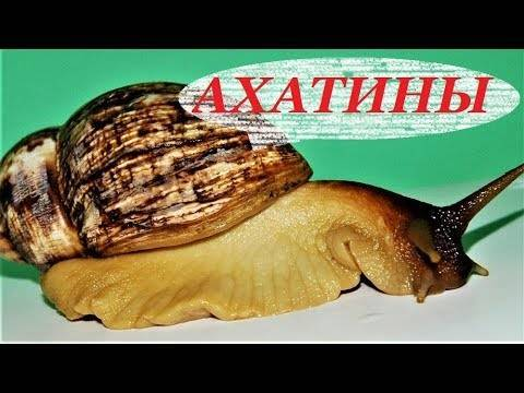 Улитка ахатина: содержание и уход