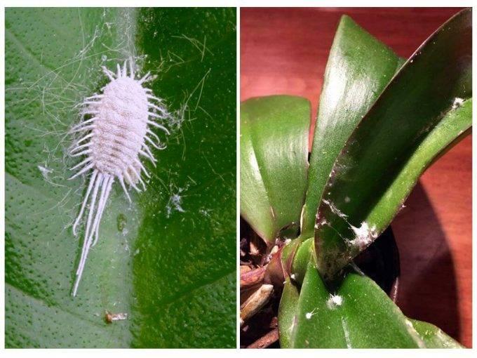 Как бороться с мучнистым червецом на комнатных растениях?