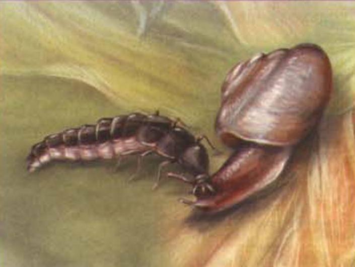 Иванов червячок – зеленый маячок в прибрежной траве