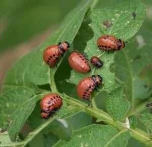 Если вас замучил колорадский жук: 8 народных средств, с которыми вы забудете об этих вредителях
