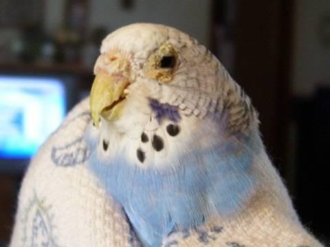 Лечение кнемидокоптоза у попугаев