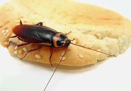 Канализационные черные тараканы опаснее и более жизнестойки, чем их рыжие собратья