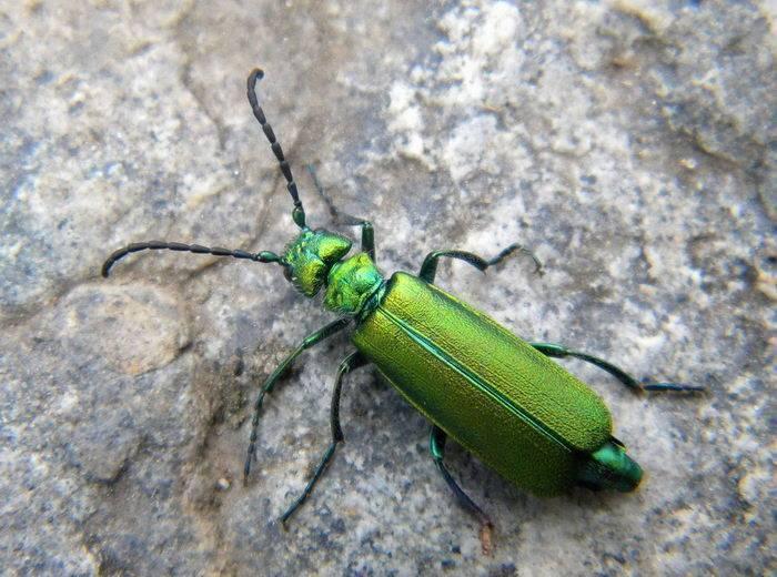 Описание и фото жуков-нарывников