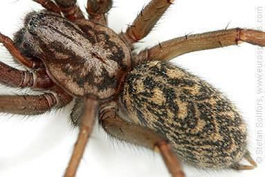 Паук-бокоход - умелый и терпеливый охотник из семейства паукообразных