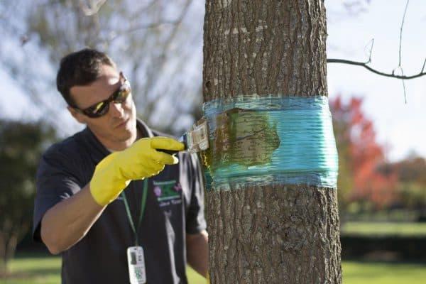 Ловчий пояс от муравьев – надежное и дешевое средство для защиты плодовых деревьев