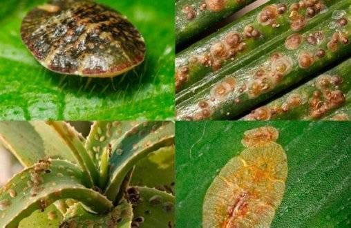 Спасаем растения от щитовки: лучшие готовые препараты и народные средства, советы по борьбе с вредителем