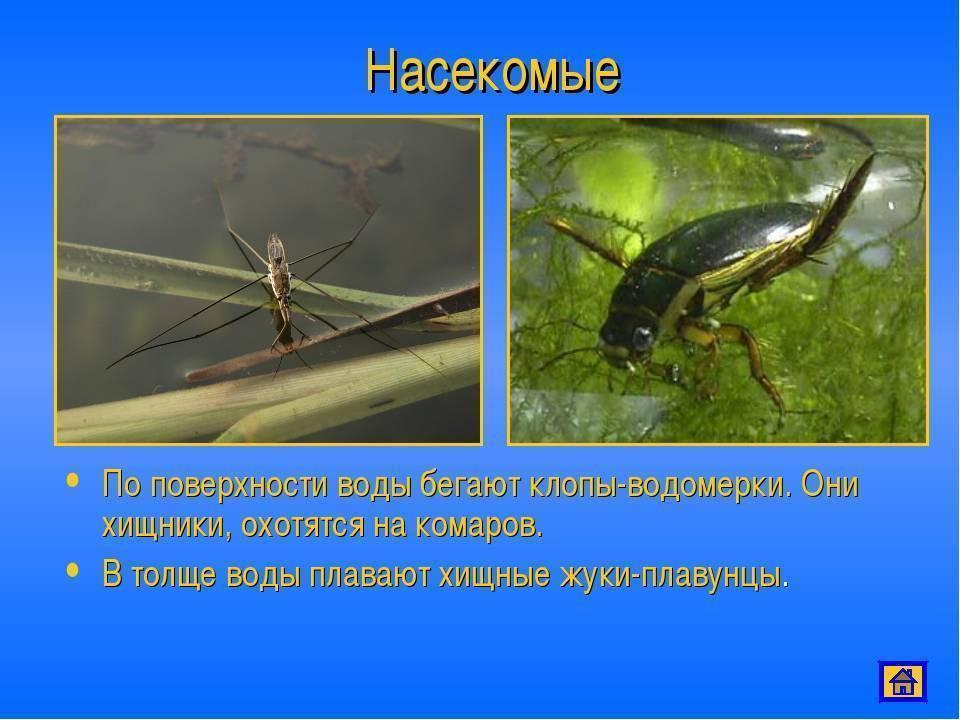 Водолюб большой: как живет самый крупный жук
