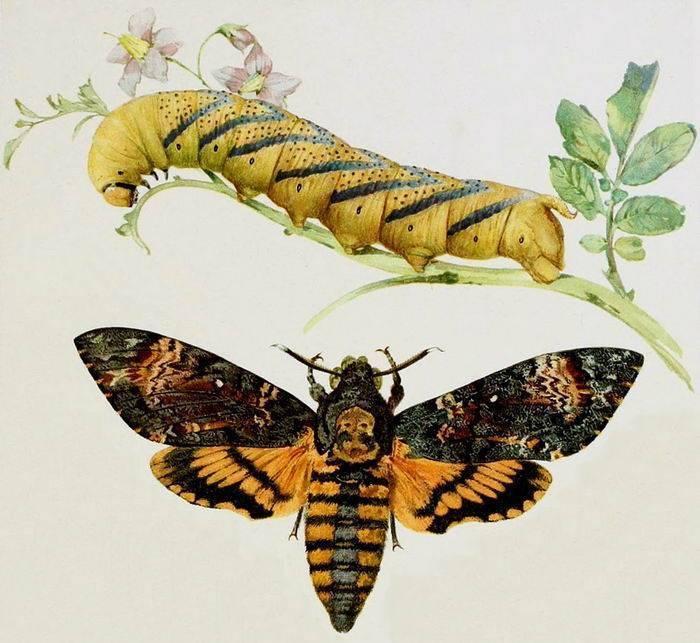 Бабочка бражник мертвая голова: сколько живет, среда обитания, образ жизни
