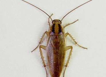 Рыжие тараканы (прусаки)