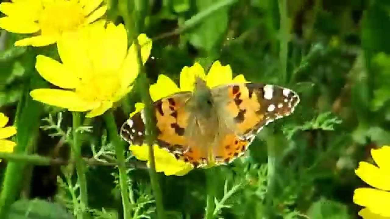 Картинки бабочки крапивницы
