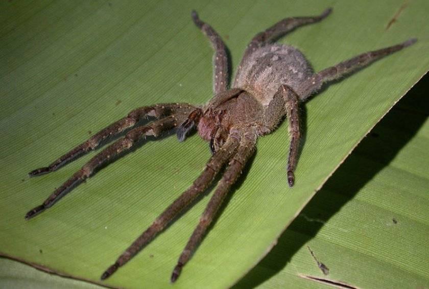Южнорусский тарантул (фото): правила домашнего содержания    тарантулы в ростовской области