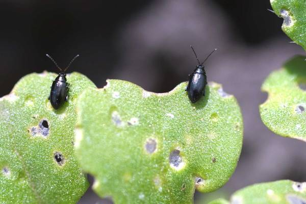 Жук листоед и борьба с ними