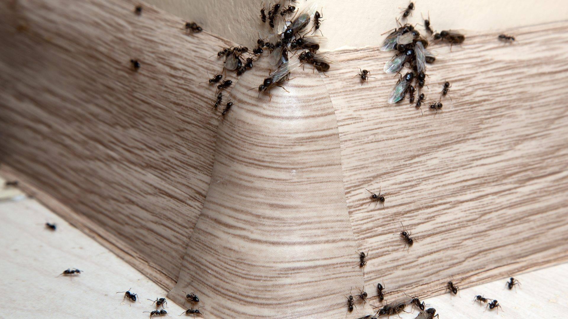 Эффективные ловушки для домашних муравьев