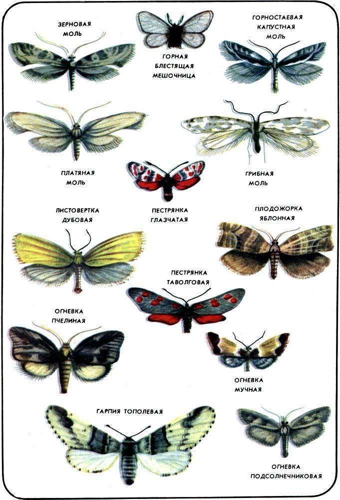 Какие разновидности моли встречаются чаще всего, и какой вред они приносят
