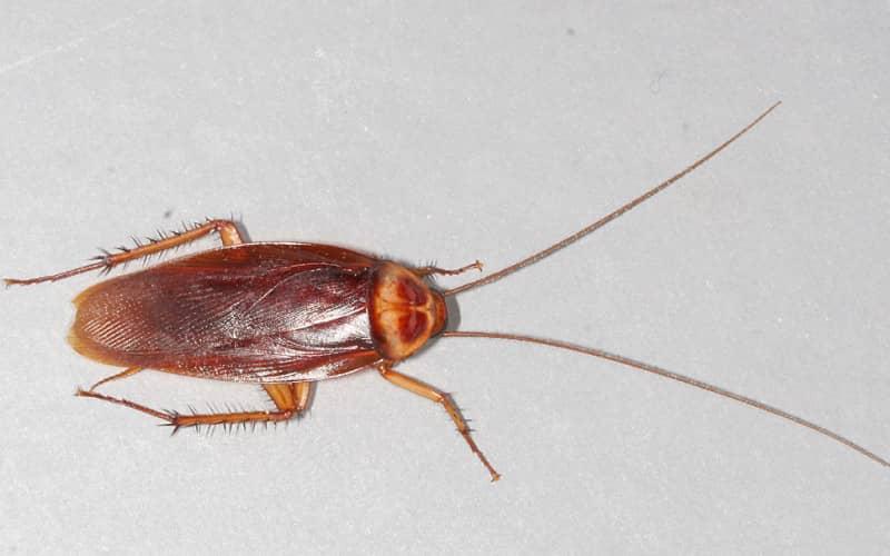 Усатые неприятели квартирных войн – тараканы