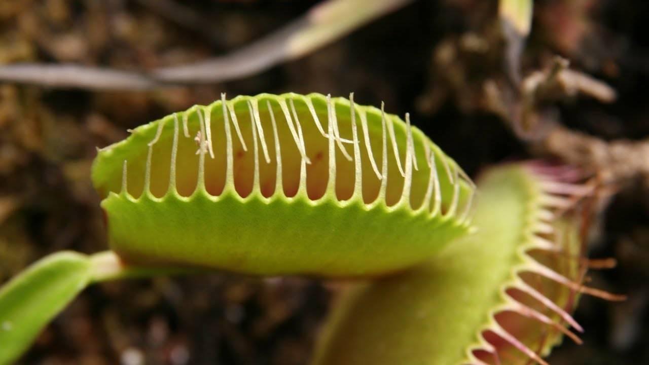 Характеристика растения-убийцы венерины мухоловки