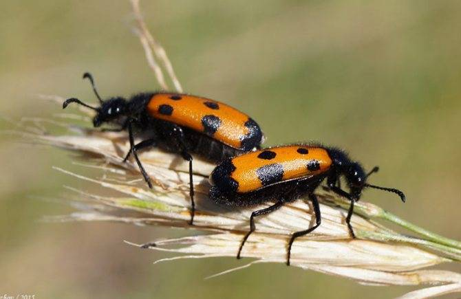 Ясеневая шпанка— привлекательный и опасный жук