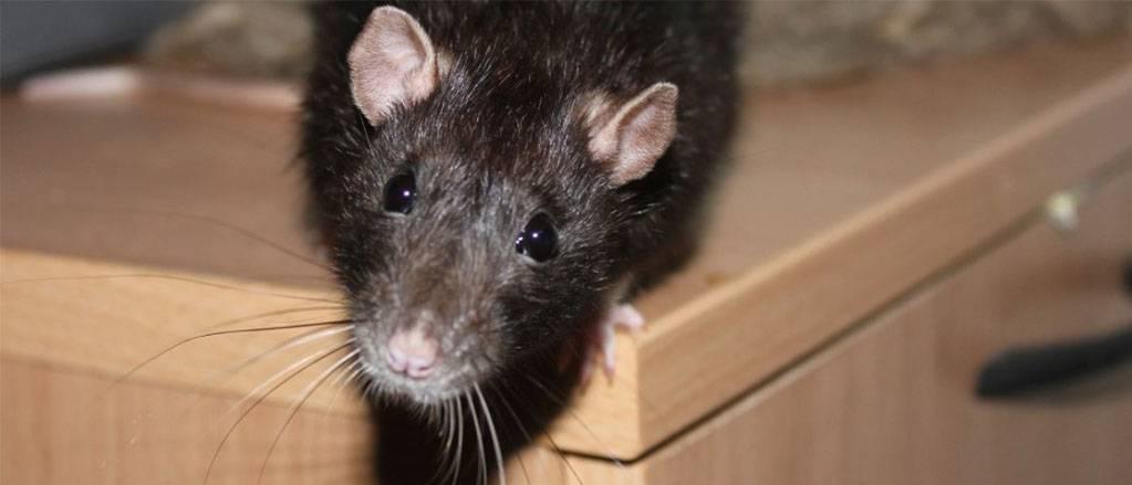 Как избавиться от крыс: самые эффективные методы