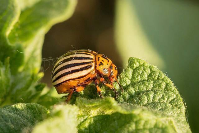 Берёзовый дёготь против колорадского жука: основные правила и способы применении