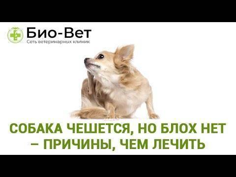 Собака чешется, но блох нет