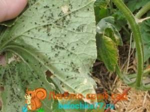 Как избавиться от белокрылки на огурцах и помидорах в теплице