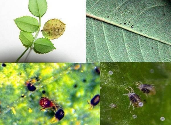 Паутинный клещ – как выглядит, виды, как распознать его на растениях и как от него избавиться раз и навсегда, эффективные методы борьбы