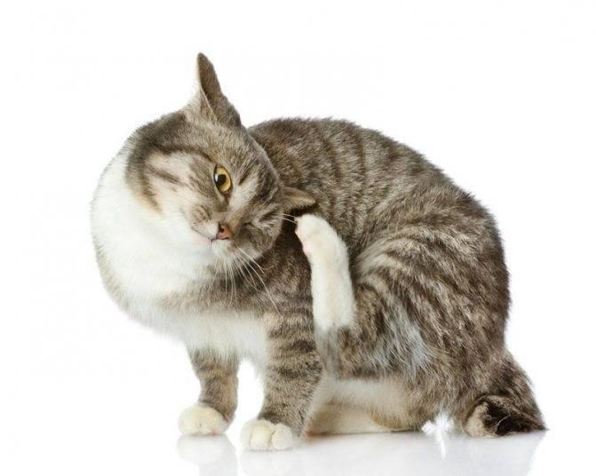 Кошка чешется до болячек и выпадает шерсть, что делать?