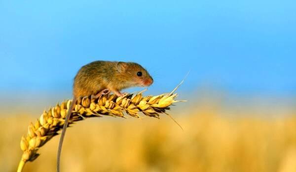 Полевая мышь, почему рыжая, чем отличается от домашней, сколько живут, как избавиться на даче?