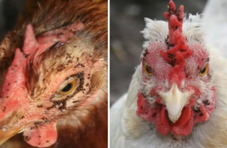Пероед у кур — как избавиться, лечение народными средствами