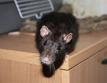 Как ловить крысу в доме или квартире