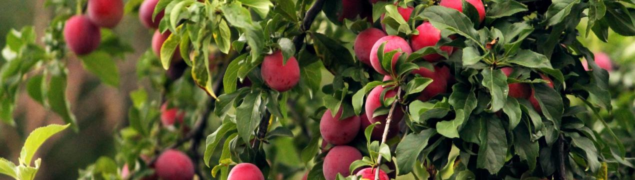 Как сделать ловчий пояс от муравьев на плодовом дереве