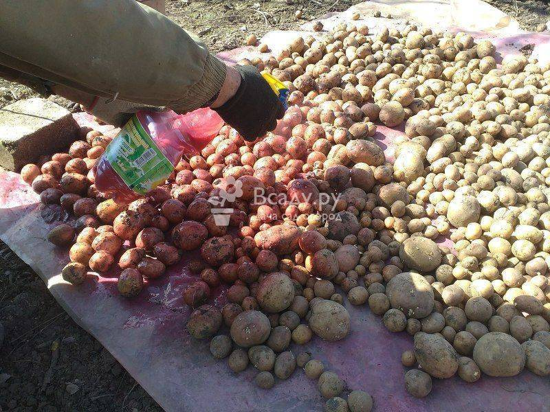 Престиж для обработки картофеля, вредит ли здоровью?