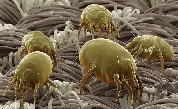 Симптомы аллергии на пылевого клеща и методы лечения
