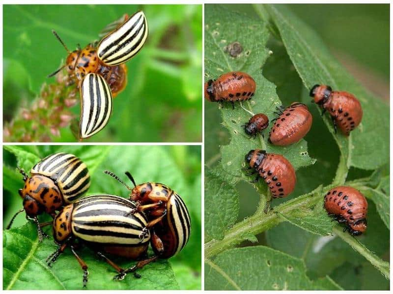 Средство от колорадского жука танрек: инструкция по применению, отзывы