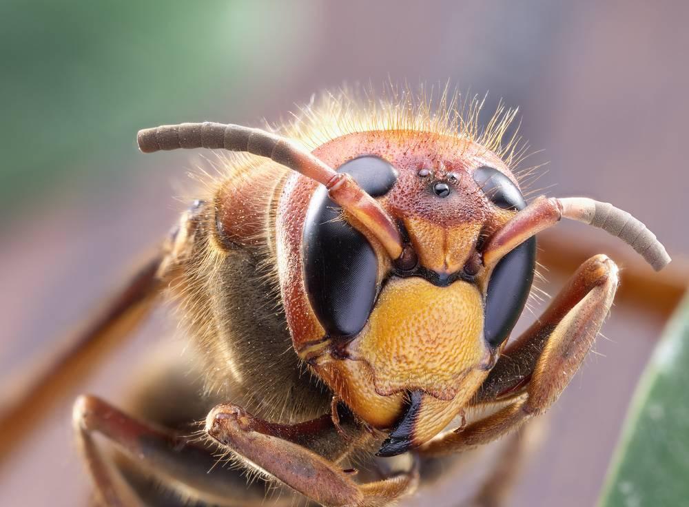 Когда спят осы летом. где зимуют осы и как они готовятся к зимовке? видео: обзор и макросъёмка опасного насекомого весьма агрессивной, кусачей дикой осы сидящей в пробирке