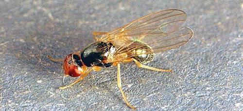 Луковая муха: как бороться с опасным вредителем
