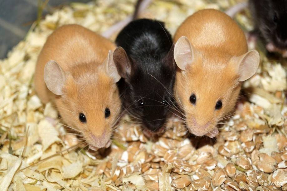Лучшая приманка для мышей в мышеловку и что лучше не класть?