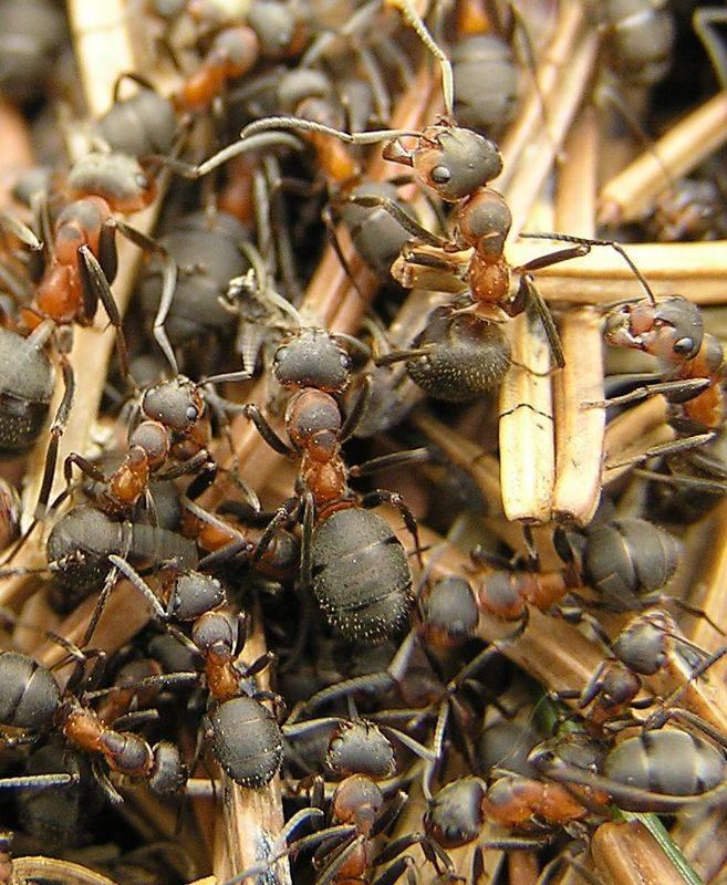 Жизнь общественных насекомых: сколько живет муравей