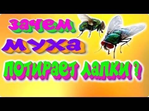 Почему мухи трут лапы друг о друга?