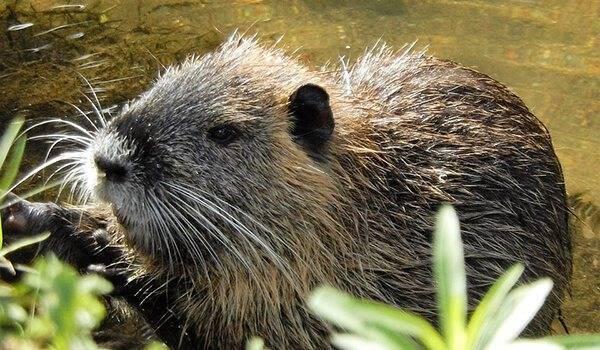 Как выглядит водяная крыса и где обитает
