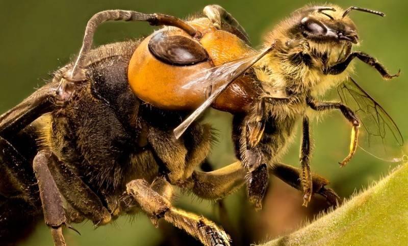 Вымирание пчел. причины и пути решения проблемы