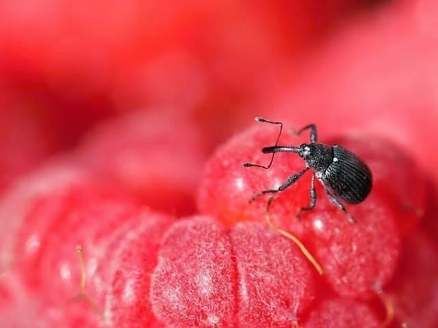 Основные разновидности болезней и вредителей груши