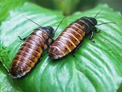 Таракан в доме: род насекомых для домашнего содержания