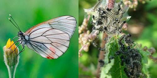 Бабочка боярышница — описание, видео