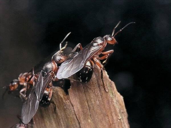 Тля и муравьи — как с ними бороться?